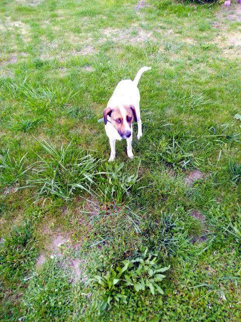 Zdjęcie przedstawia znalezionego w Podgórkach psa o umaszczeniu jasnym.