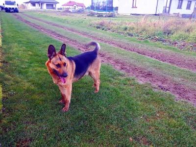 Pies błąkający się w okolicach Malechowa.