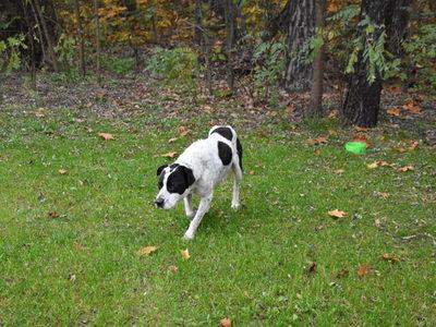Biało czarny pies na trawie