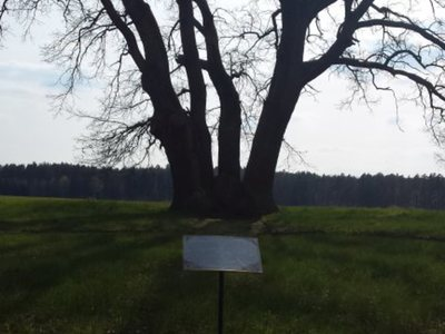 Pomnik przyrody - dwa cisy